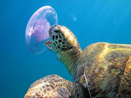 Sea-turtle-eating-jellyfish