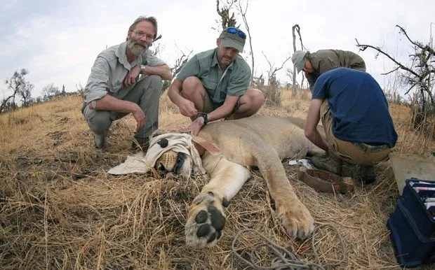 May0064172 Features; Pic shows Prof David Macdonald (left) with colleague Andrew Loveridge tracking lions at Hwange National Park, Zimbabwe.  30-7-15