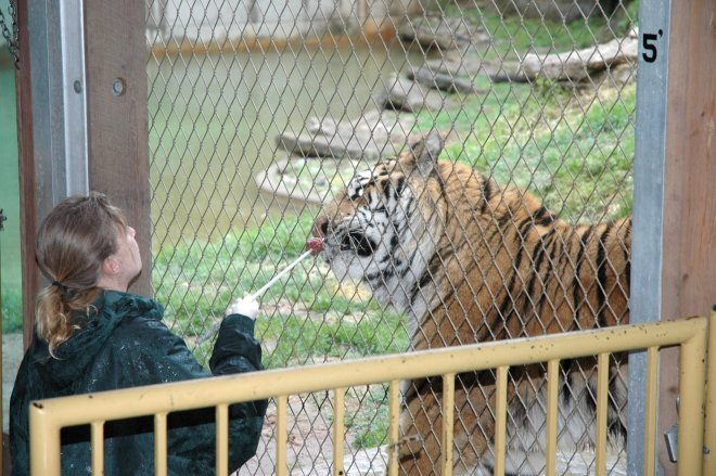 Tiger-training-Louisville-Zoo3-Shasta-Bray