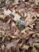 Pretty pansy poking through the leaves