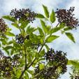 http://www.starkbros.com/products/berry-plants/elderberry-plants/york-elderberry