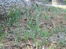 Taken late March 2014, growing abundant garlic