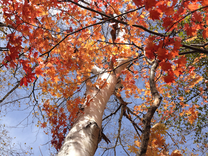 Along Lake Yu, there are brilliant Japanese Maple trees and birch trees.