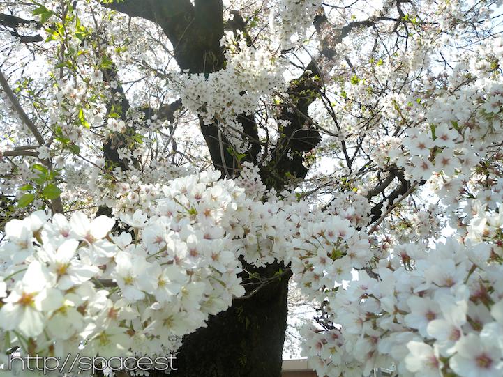white sakura blossoms Nikko Kaido