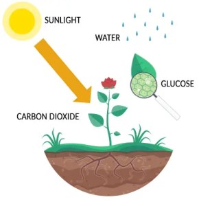 Photosynthesis Process