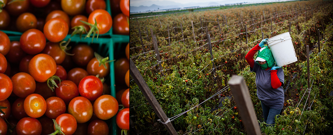 Picking tomatoes in California.