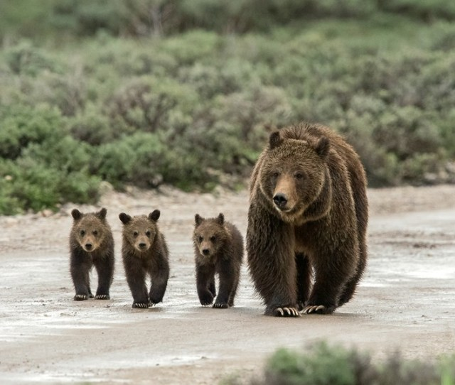 Grizzly 399 And Three Of Her Cubs Walk Down Pilgrim Creek Road In Grand Teton National