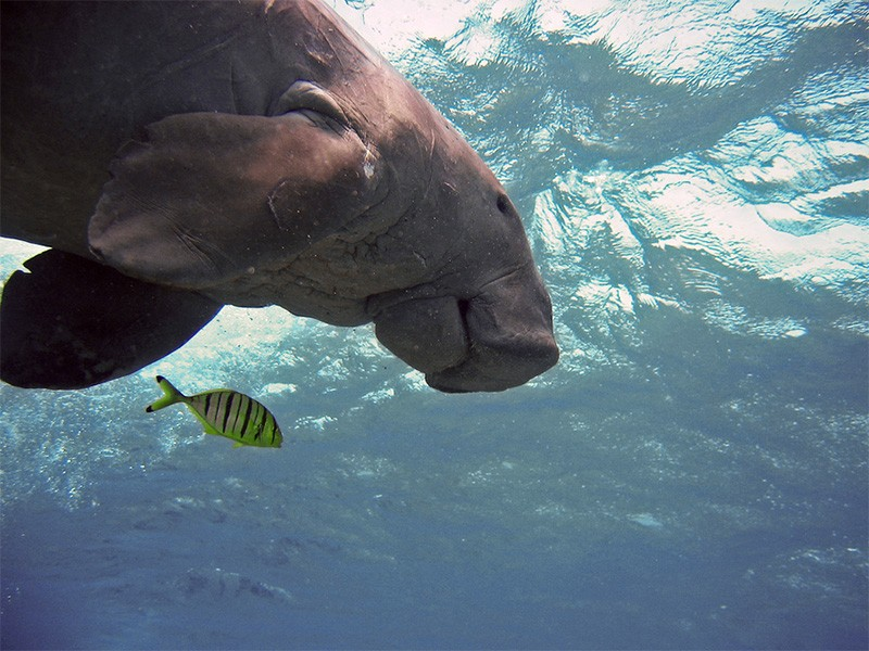 A dugong swims in the ocean.