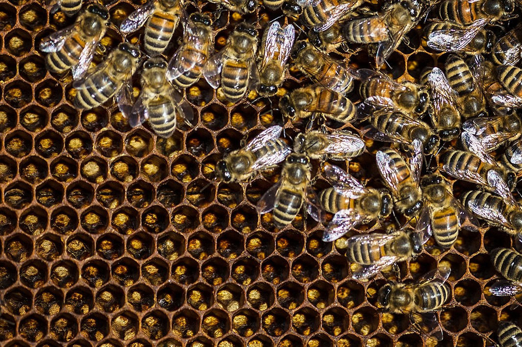 Bees working in Portland, Maine.