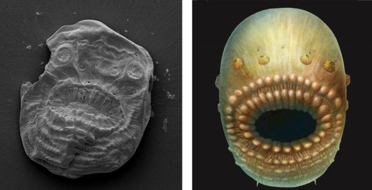 Saccorhytus