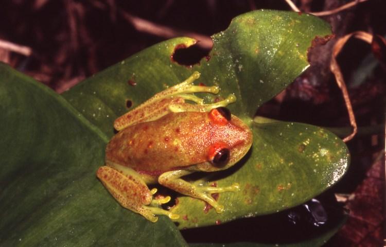 Hypsiboas punctatus
