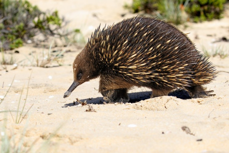 Echidna in the sand dunes