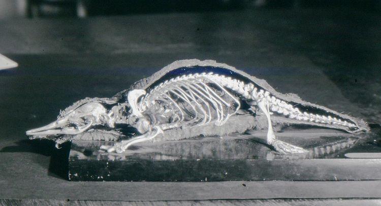 Duckbill Platypus skeleton