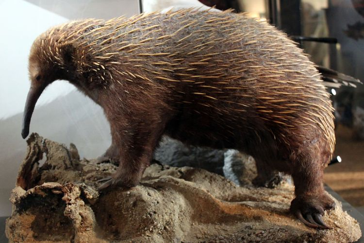 Taxidermied Echidna
