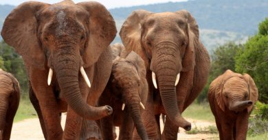 There's early evidence poaching Is causing Elephants to Evolve Away From Having Tusks