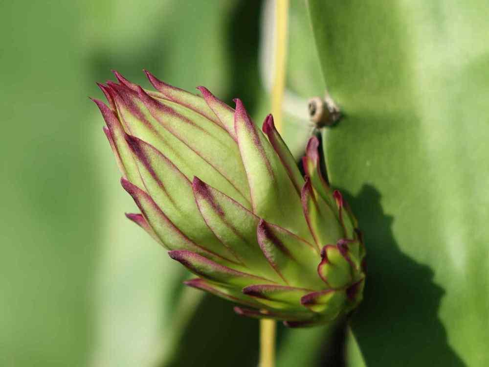 Dragon Fruit Flowers