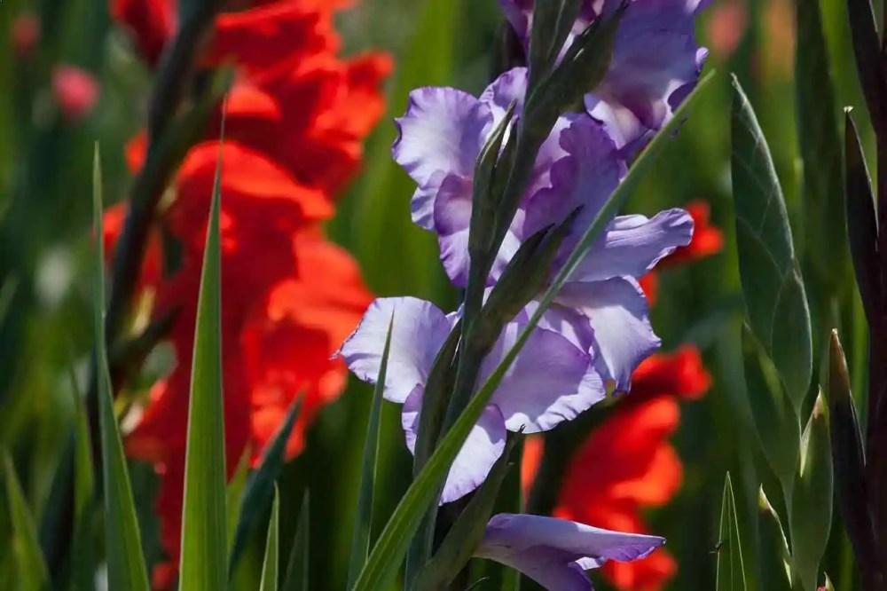 Night Gladiolus