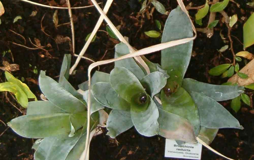 Brocchinia Reducta