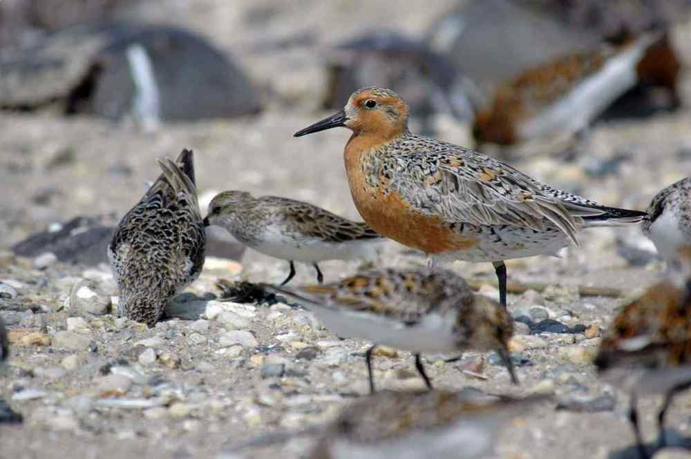 The Red Knot