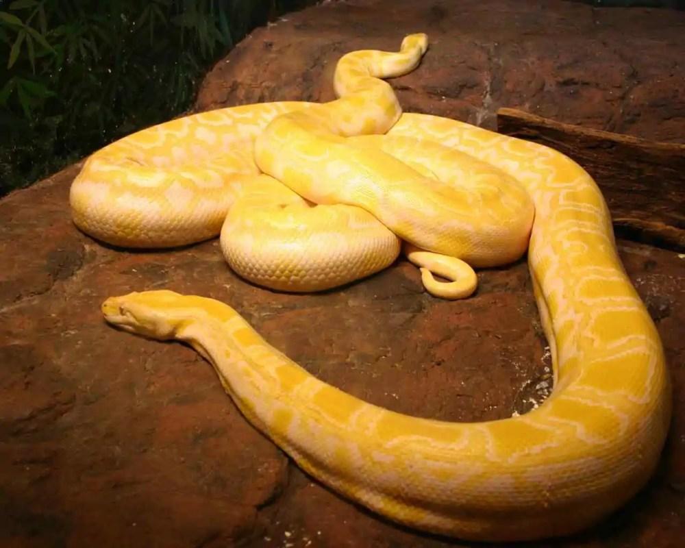 Amelanistic Burmese Python