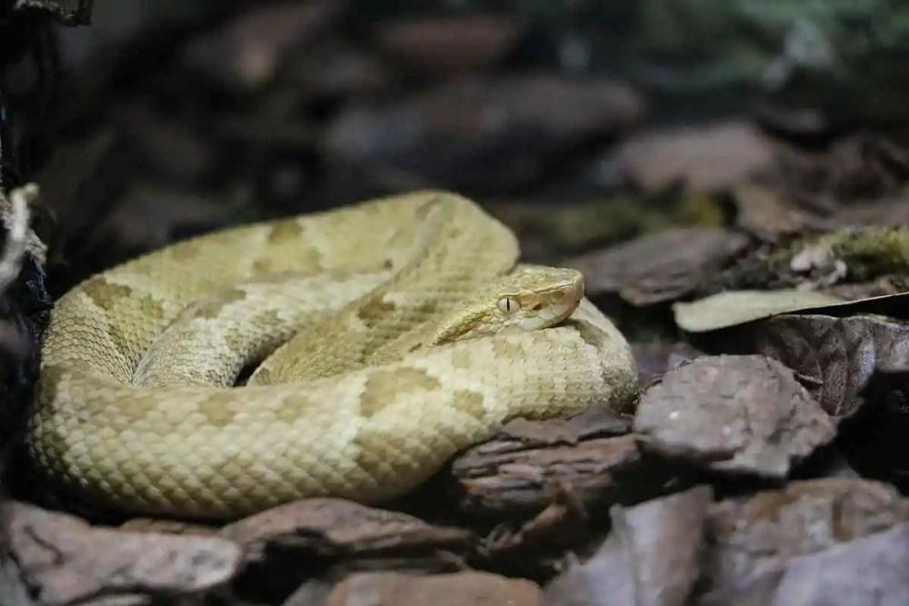lancehead pit viper