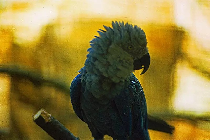 Spix's macaws