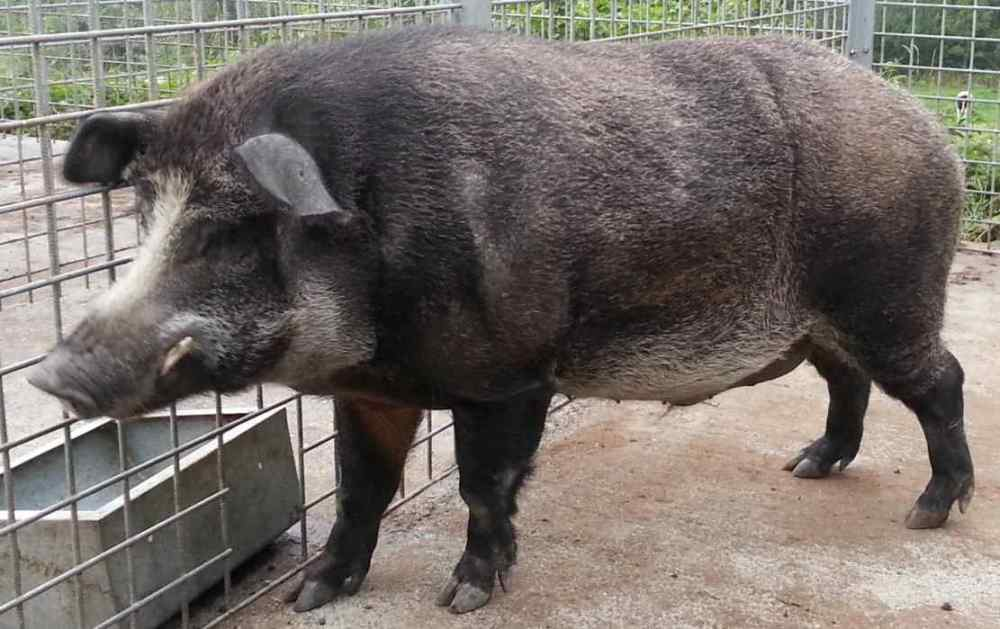 Iron Age Pig