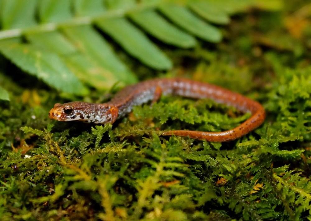 Thorius Arboreus (Smallest Salamander)