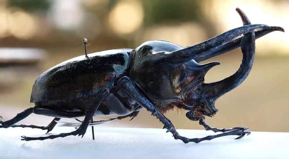 Male Atlas Beetle