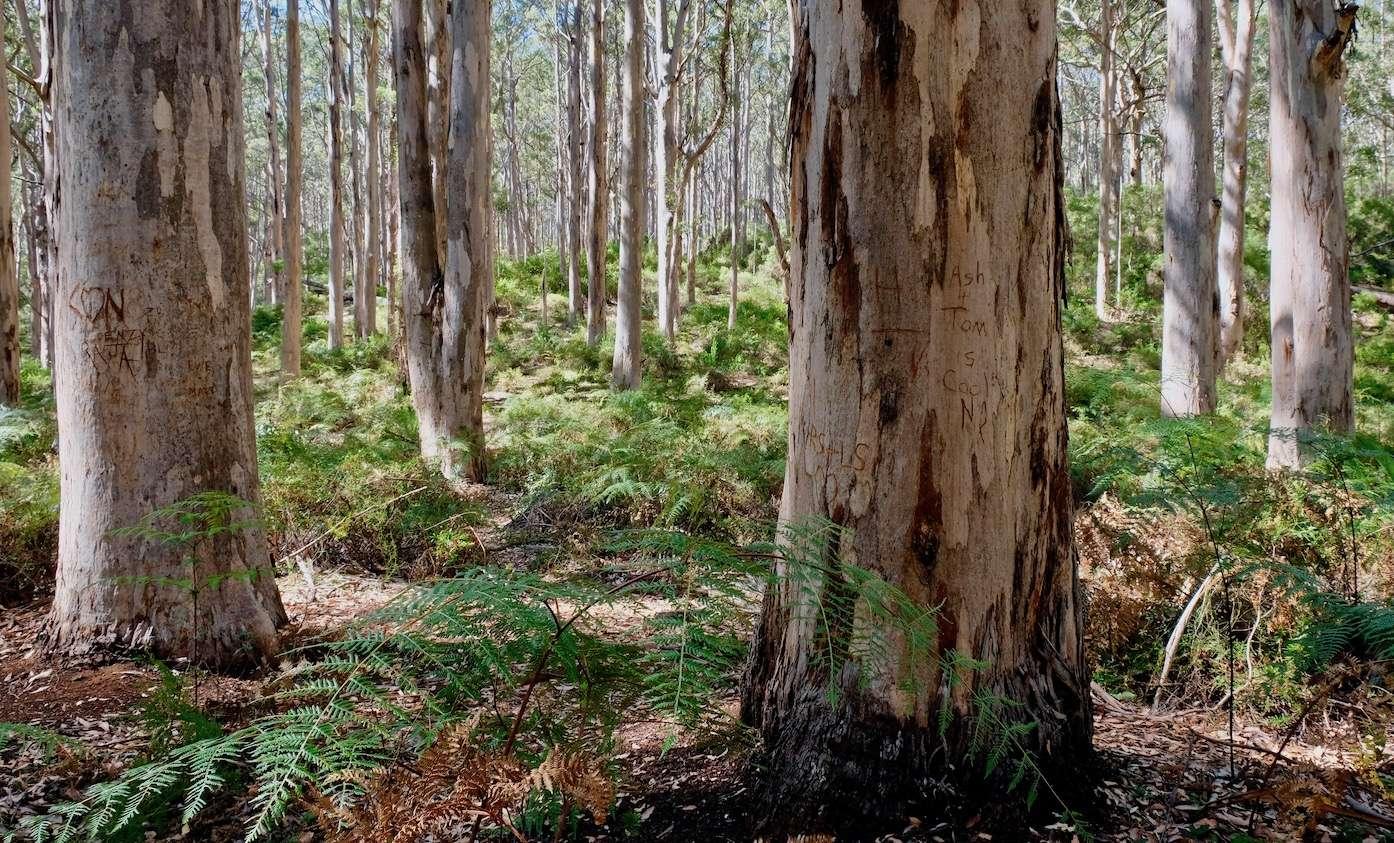 gleaming pale karri trees