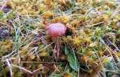 Rickenella fibula Orange mosscap (1)