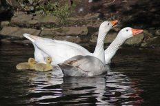 160503 goslings (1)