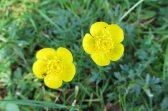 160513 bulbous buttercup Ranunculus bulbosus