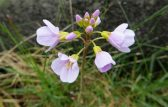 160513 Cardamine pratensis Cuckooflower or lady's smock