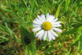160513 daisy bellis perennis