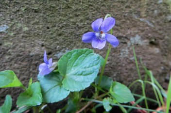 160513 Dog violet Viola riviniana