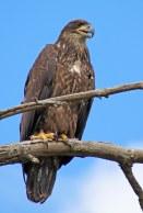 160525 bald eagle (1)