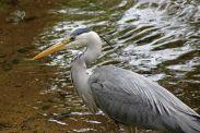 160619 heron fishing (2)