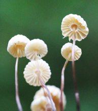 160628 Collared parachute fungus (3)