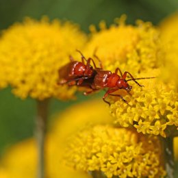 160704 red soldier beetles (3)
