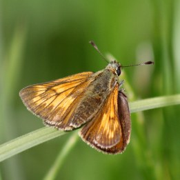 160705 Large Skipper