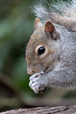 160802 grey squirrel (3)
