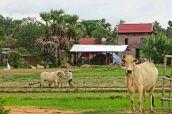 160817 cambo cattle (6)