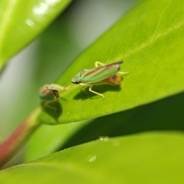 160830 Rhododendron leafhopper (3)