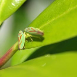 160830 Rhododendron leafhopper (5)