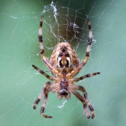 160919-garden-spiders-3