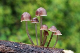 161129-mycena-fungi-4