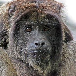 161207-black-howler-monkey-2
