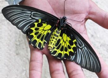 161221-cambodia-common-birdwing