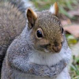 170130-grey-squirrel-2